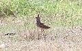 Crested Lark (Galerida cristata) (23029780199).jpg