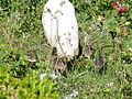 Crias de Pavão no jardim.jpg
