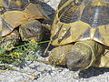 Crnovec - tortoise - P1100470.JPG