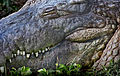 Crocodiles Prefer Crest (8305715192).jpg