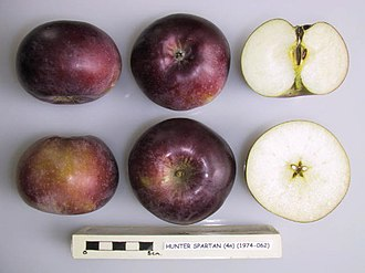 Spartan (apple) - Image: Cross section of Hunter Spartan, National Fruit Collection (acc. 1974 062)