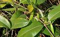 Cryptolepis buchananii (Indian sarsaparilla) W2 IMG 3227.jpg