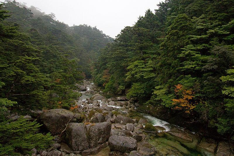File:Cryptomeria japonica Tsuga sieboldii Yakushima.jpg