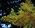 Ctenidium molluscum (Hedw.) Mitt.-Hřebenitka měkkounká5.jpg