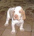 Cucciolo-bracco-italiano.JPG