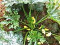 Cucurbita pepo straightneck Summer squash bush plant and flowers.jpg