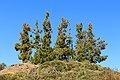 Cumbre dorsal - Tenerife - Pinus canariensis.jpg