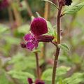 Cuphea viscosissima-IMG 4220.jpg
