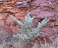 Cupressus glabra Sedona4.jpg