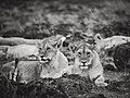 Curious Cubs from the Cheli pride @ Masai Mara (21778583569).jpg