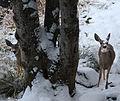 Curious deer (8195836785).jpg