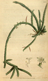 Curtis's Botanical Magazine, Plate 3079 (Volume 58, 1831).png