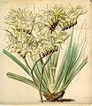 Curtis's Botanical Magazine, Plate 4291 (Volume 73, 1847).jpg