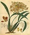 Curtis's botanical magazine (Plate 3109) (8410416395).jpg
