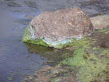 Scum of algae and cyanobacteria on water surface