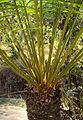 Cycas circinalis 07.JPG
