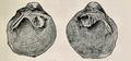 Cyclonaias tuberculata 001.png