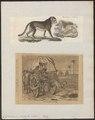 Cynailurus jubatus - 1700-1880 - Print - Iconographia Zoologica - Special Collections University of Amsterdam - UBA01 IZ22100145.tif