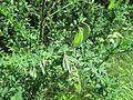 Cytisus scoparius (L.) Link.jpg