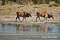DSC07156.jpeg Eland-Antilope (50713859906).jpg