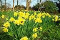 Daffodils Field.jpg