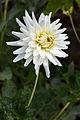 Dahlia White Perfection Tas 2.jpg