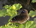 Danaid eggfly female.jpg