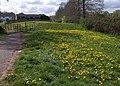 Dandelions, Buckland - geograph.org.uk - 1836423.jpg