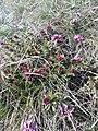 Daphne cneorum (Thymelaeaceae) 02.jpg