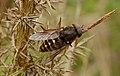 Dark giant horsefly (Tabanus sudeticus), Pen-er-Malo, Guidel, Brittany, France (19917316372).jpg