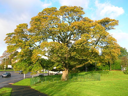 Mary is said to have nursed the smallpox-stricken Darnley under this Plane tree at home at Darnley, now a suburb of Glasgow. DarnleySycamore.JPG
