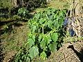 Datura stramonium plant5 (13833579245).jpg