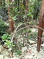 Delonix adansonioides - Palmengarten Frankfurt - DSC01693.JPG