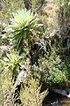 Dendrosenecio battiscombei 04.jpg