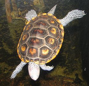 Description de l'image Diamondback_Terrapin.jpg.