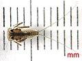 Dic 2008 F Heptageniidae.jpg