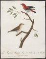 Dicaeum flammeum - 1796-1808 - Print - Iconographia Zoologica - Special Collections University of Amsterdam - UBA01 IZ19000265.tif