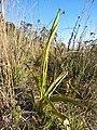 Dichromanthus michuacanus 3.jpg