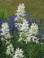 Dictamnus albus - Flickr - peganum.jpg