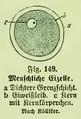 Die Frau als Hausärztin (1911) 148 Menschliche Eizelle.png