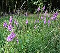 Digitalis purpurea2 ies.jpg