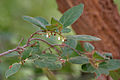 Diospyros chloroxylon leaves & flowers at Mrugavani National Park in Chilkur near Hyderabad W IMG 7420.jpg