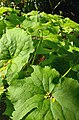 Diphylleia grayi -- VanDusen Botanical Garden -- Vancouver, BC.jpg