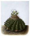 Discocactus heptacanthus ssp brevispinus BlKakteenT69.jpg