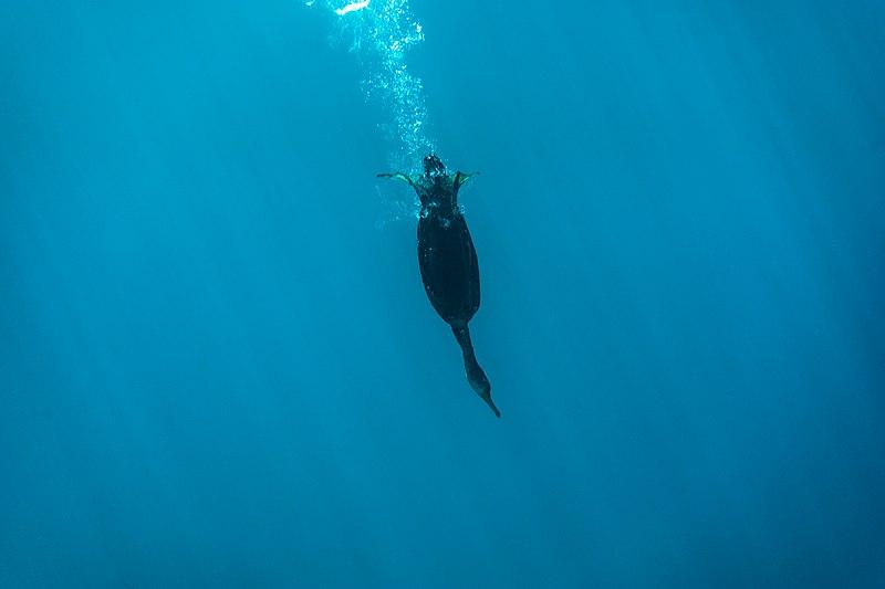 File:Diving bird.jpg