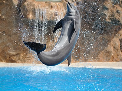 Dolphin performing a salto