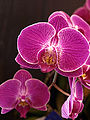 DoritaenopsisMinhoPrincess-TorontoOrchidShow-April11-09.jpg