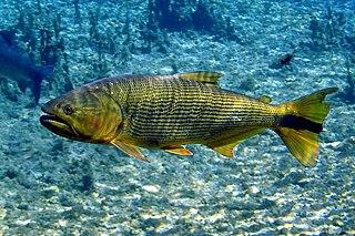 <i>Salminus brasiliensis</i> species of fish