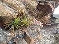 Dracophyllum secundum habit.jpg