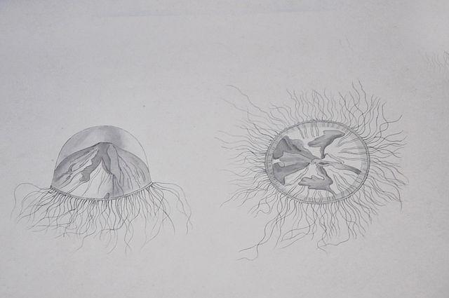 Line Drawing Jellyfish : Jellyfish line drawing design around every corner